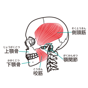 図:側頭筋